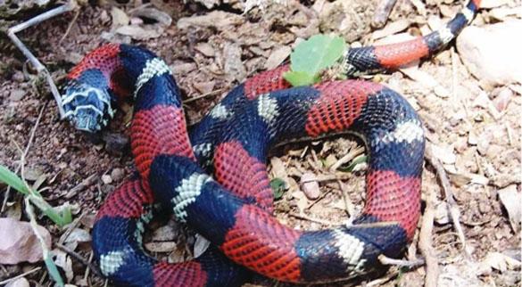 snakeChaco